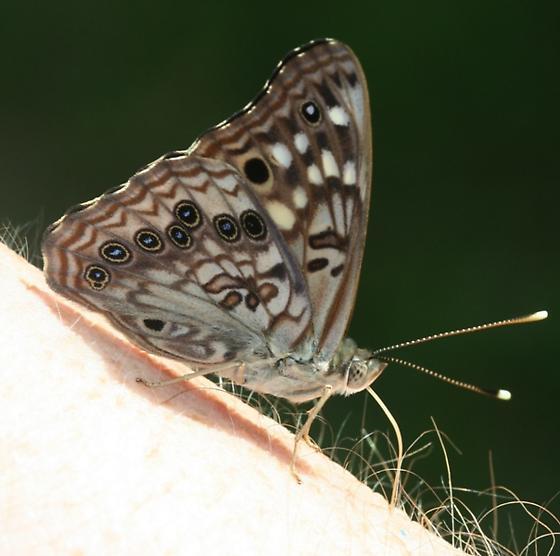 Butterfly taking sweat - Asterocampa celtis - male