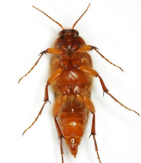 soleno - Scaptolenus - female