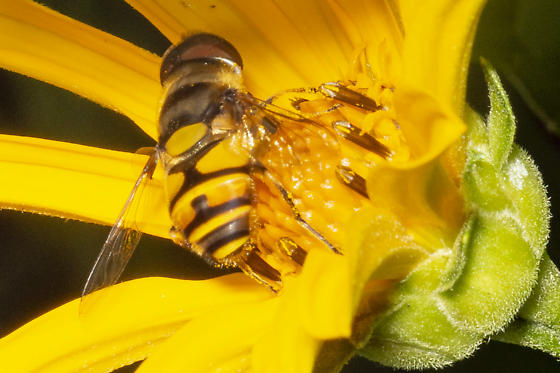 a different Syrphid - Eristalis transversa