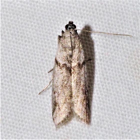 Myelopsis alatella - Hodges#5720 - Myelopsis alatella - male