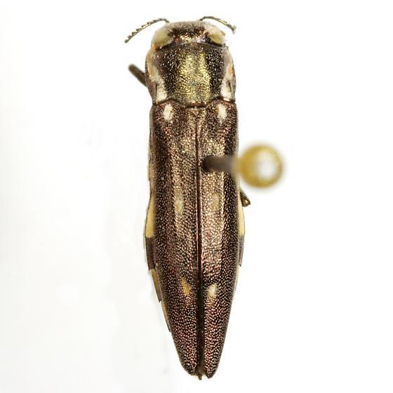 Agrilus granulatus (Say) - Agrilus granulatus