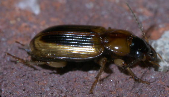 Translucent ground beetle with two black stripes - Stenolophus comma