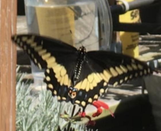Black Swallowtail subspecies? - Papilio polyxenes