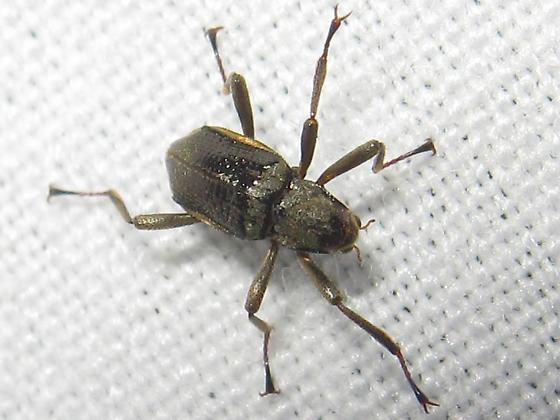 Riffle beetle? - Macronychus glabratus