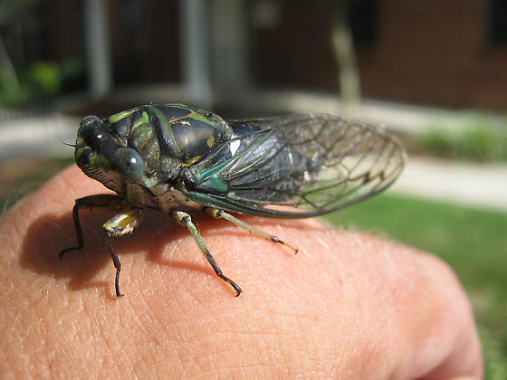 Which Tibicin? - Neotibicen robinsonianus - male