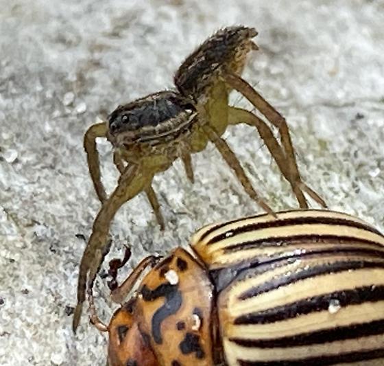 Spider vs. Beetle - Tigrosa