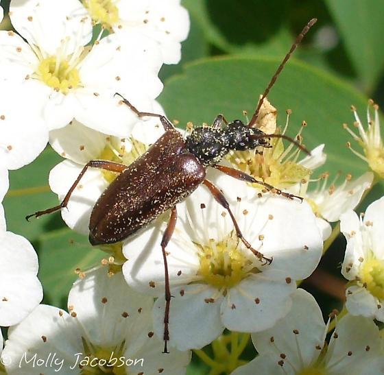 beetle - Acmaeops proteus