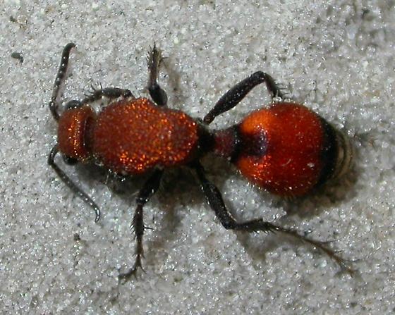 Velvet ant - Dasymutilla bioculata - female