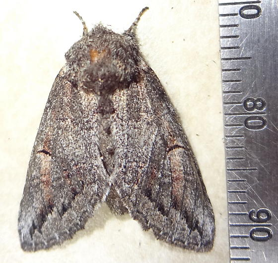 Owlet Moth. ?? - Heterocampa averna