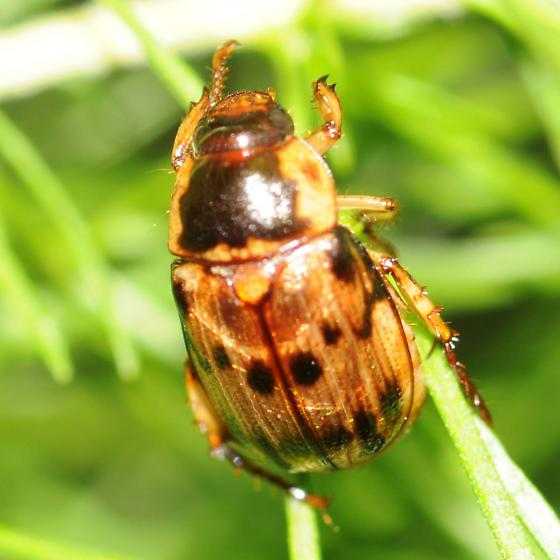 Beetle - Anomala