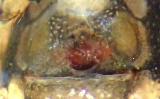 E. formosa female - Euryopis formosa - female