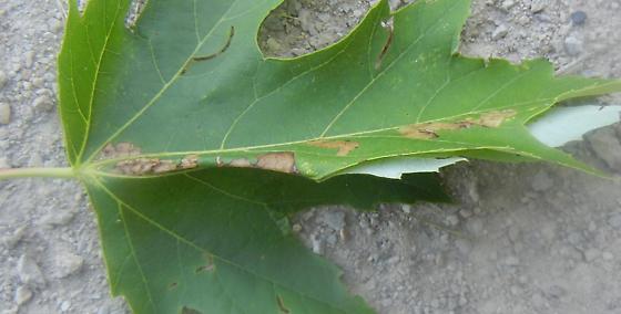 silver maple leaf fold - Catastega aceriella