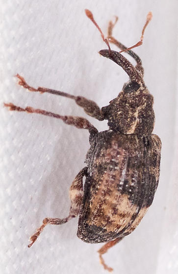 Contrachelus sp.? - Conotrachelus elegans