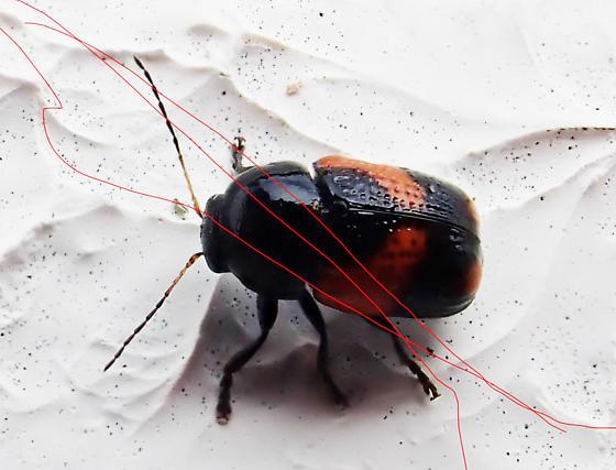 Cryptocephalinae -  Case-bearing Leaf Beetles - Cryptocephalus binominis