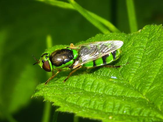 soldier fly - Odontomyia cincta