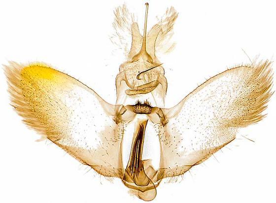 genitalia - Sparganothis xanthoides - male