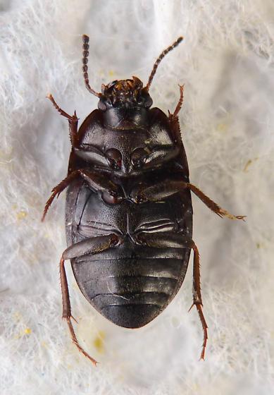 Small Tenebrionid? - Gondwanocrypticus obsoletus