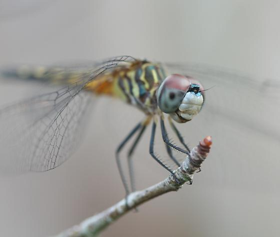 Dragonfly - Pachydiplax longipennis