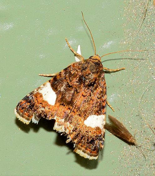 Moth ID please - Tyta luctuosa