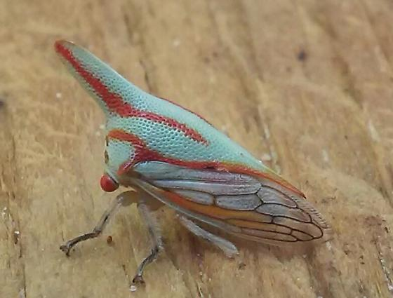 Blue Bug With Red Stripes and Horn - Platycotis vittata