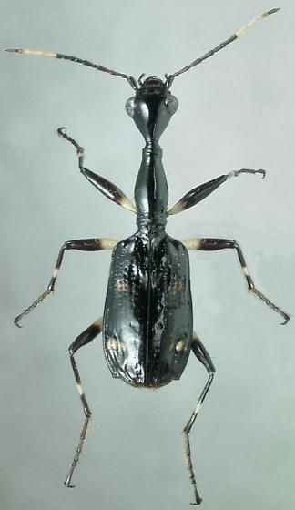 Colliuris tetrastigma caymanensis Darlington - Colliuris caymanensis