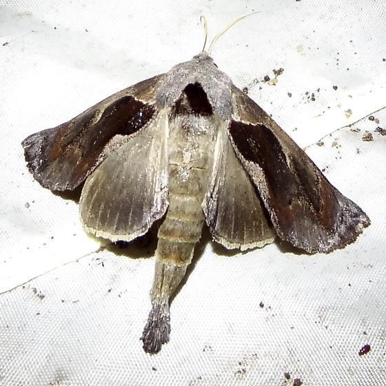 large long tailed moth - Crinodes biedermani