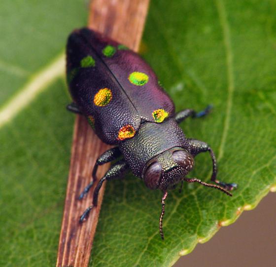 not Actenodes - Chrysobothris chrysoela