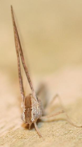 Mayfly? - Callibaetis