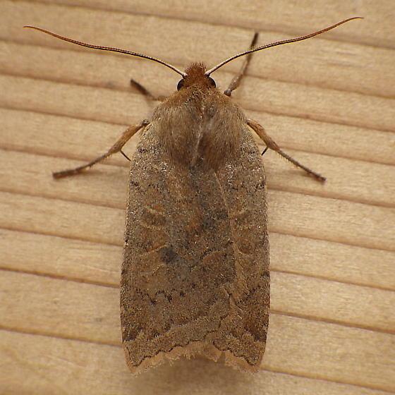 Noctuidae: Epiglaea decliva - Epiglaea decliva