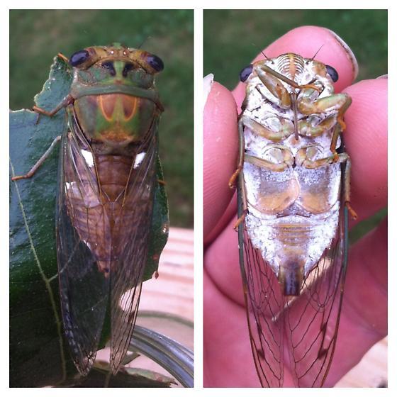 New cicada for me! - Neotibicen pruinosus