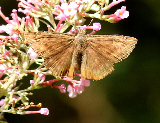 Horace's duskywing butterfly - Erynnis horatius - male