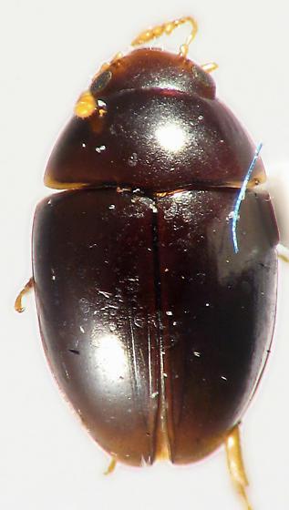 brown Olibrus - Olibrus bullatus