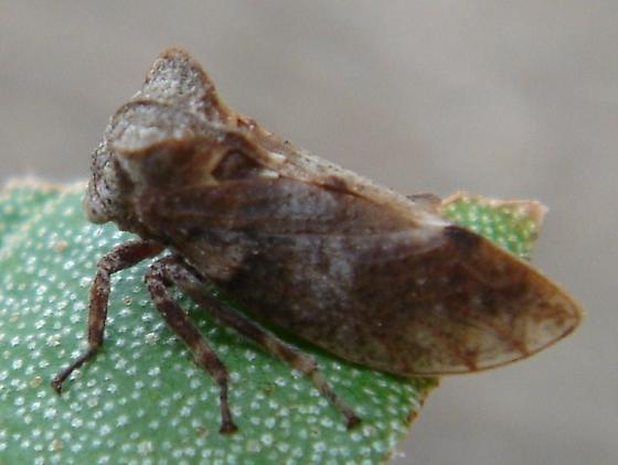 Aetalionid Treehopper - Microcentrus perditus