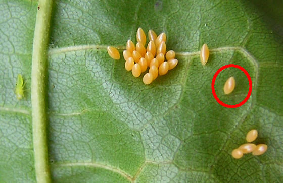 Lady beetle egg mass (and leafhopper) - day before hatch - Harmonia axyridis