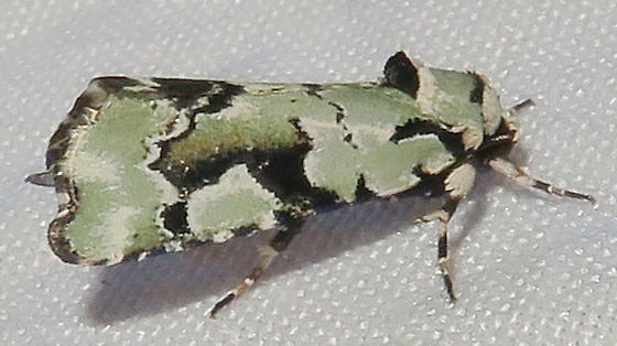 Beloved Emarginea Moth - Emarginea percara