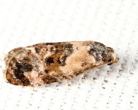 Cochylini - Cochylichroa hoffmanana