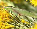 Katydid with pink trim - Scudderia