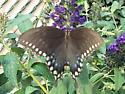 Swallowtail - Papilio troilus - female