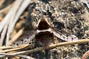 odd fly? - Bombylius pygmaeus