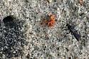 Spider Wasp - Episyron biguttatus
