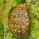 Beetle - Megacopta cribraria