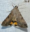 Moth 1 - Bulia deducta