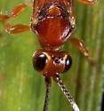 Wasp ID - Barichneumon