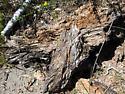 Termites 2 - Reticulitermes - female