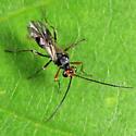 wasp - Dinocampus coccinellae