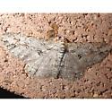 Iridopsis sp?? - Iridopsis fragilaria - male