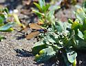 Flying insect on Heliotrope  - Ctenucha