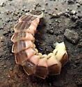 firefly larvae
