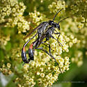 Mating Thread-Waisted Wasps - Ammophila pictipennis - male - female