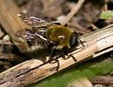 Flower Fly - Merodon equestris - female
